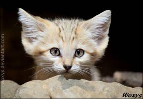 A kitty who wanted to be a fennec fox... by woxys