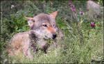 Romantic wolf?