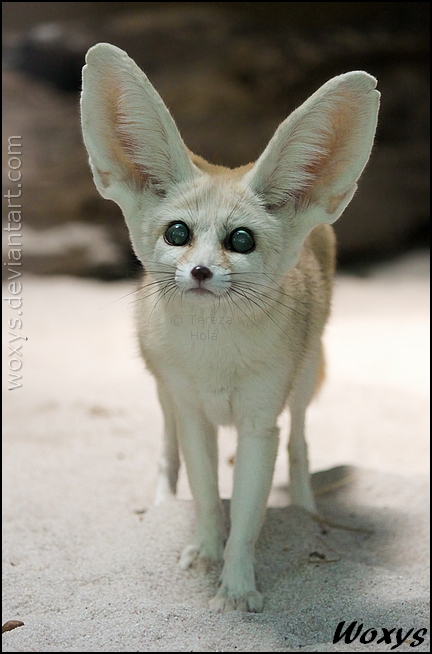 Fennec Fox Full Grown