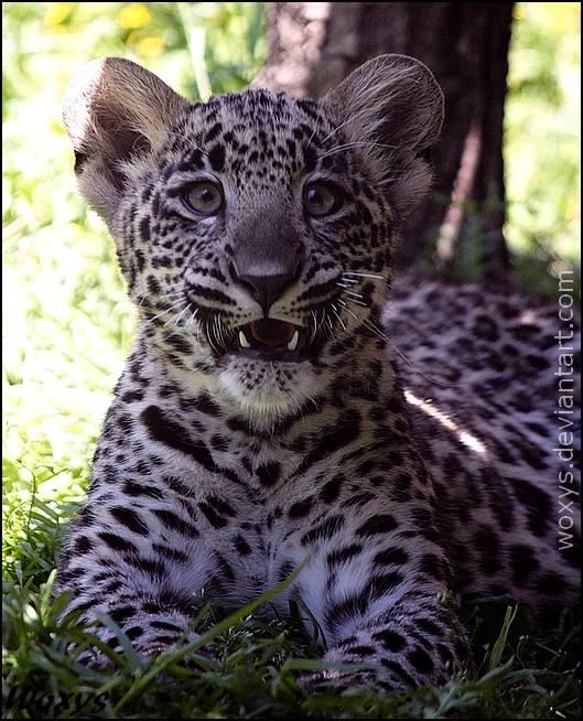OMG, I forgot my Math homework! Baby leopard by woxys