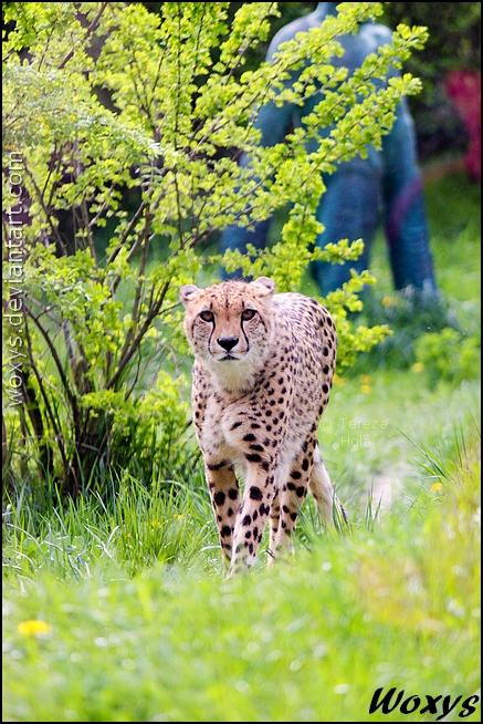 Cheetah shepherd by woxys