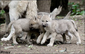 Wolf puppies by woxys