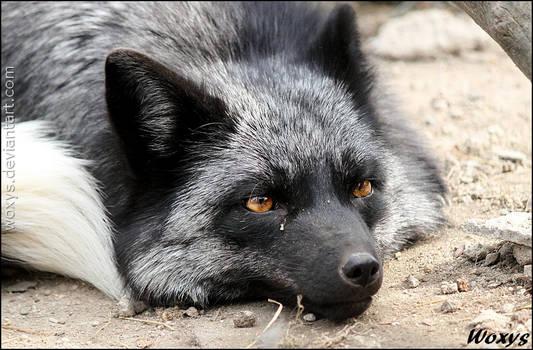Flat as a fox
