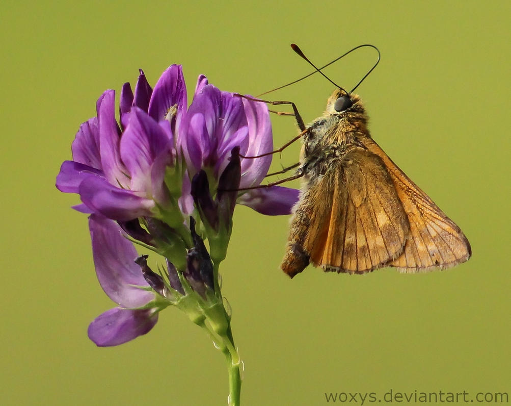 Motyl by woxys