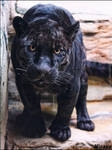 Black panthers's supporter