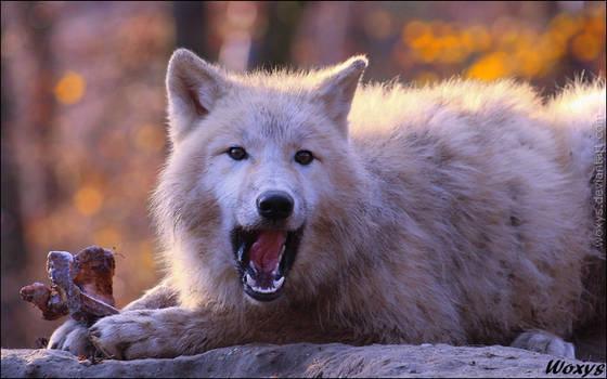 Be happy as a greedy wolf