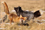 Nevermind the color, foxes are crazy