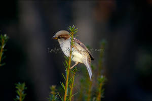 Common Sparrow 4