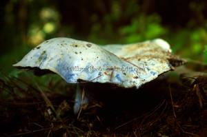 The Blue Mushroom 2 by KWilliamsPhoto