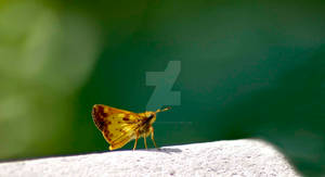 Zabulon Skipper - Male