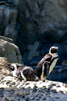 African Penguin 5