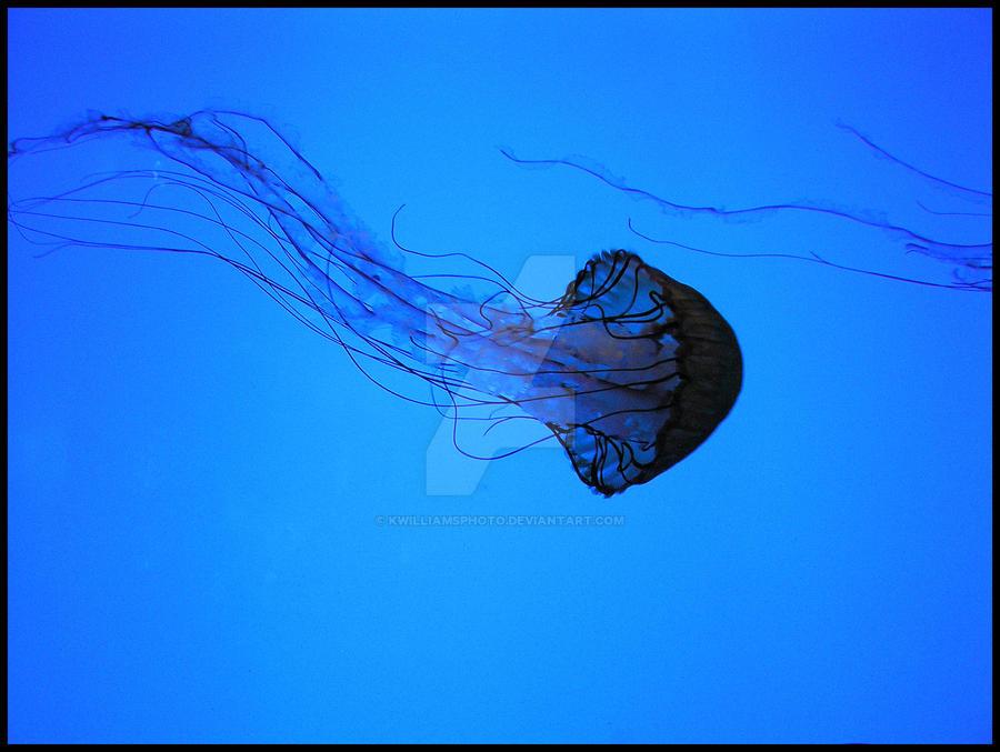 Jelly Fish by KWilliamsPhoto