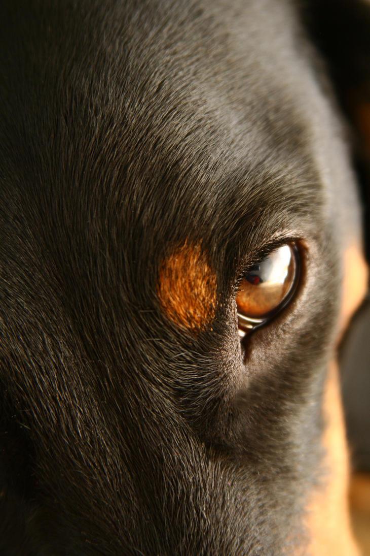 Eye of the dachshund by snoopa