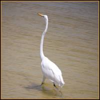 Great Egret by LadyAliceofOz
