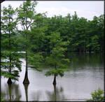 Cypress on the lake...
