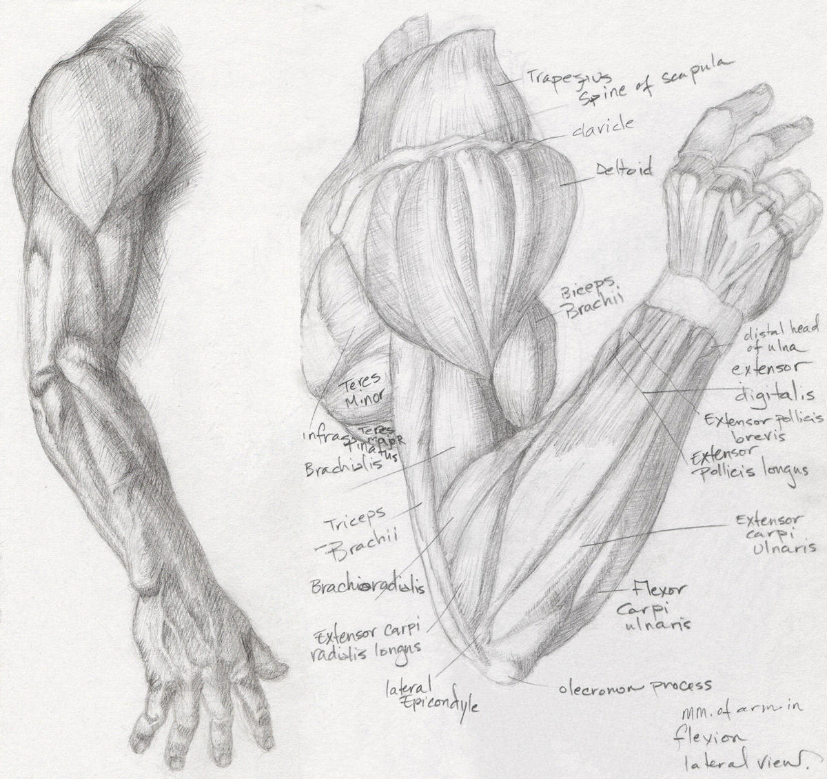 Anatomy Study - Arm 1 by Helen-Baq on DeviantArt