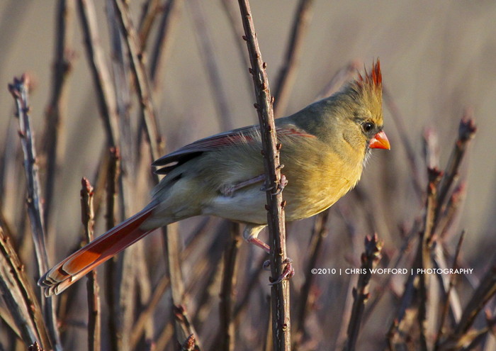Female Cardinal by w4graphics