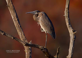 Fall Great Blue Heron by w4graphics