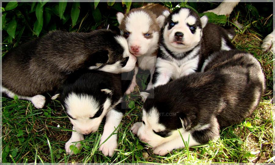 puppies by kretzolina