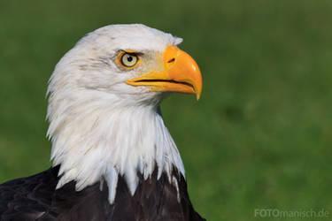 Bald Eagle by fotomanisch
