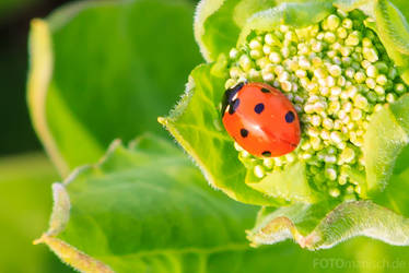 Lady beetle by fotomanisch