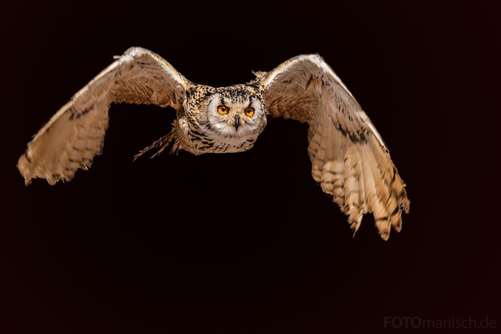 Eurasian eagle-owl (Bubo bubo) by fotomanisch
