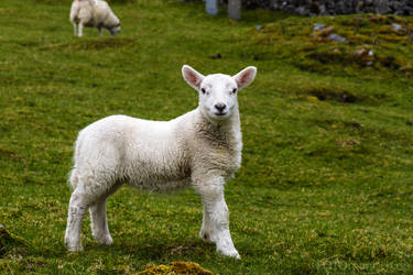 Lamb by fotomanisch