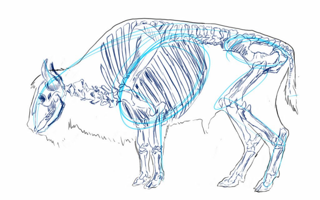 American Bison Anatomy
