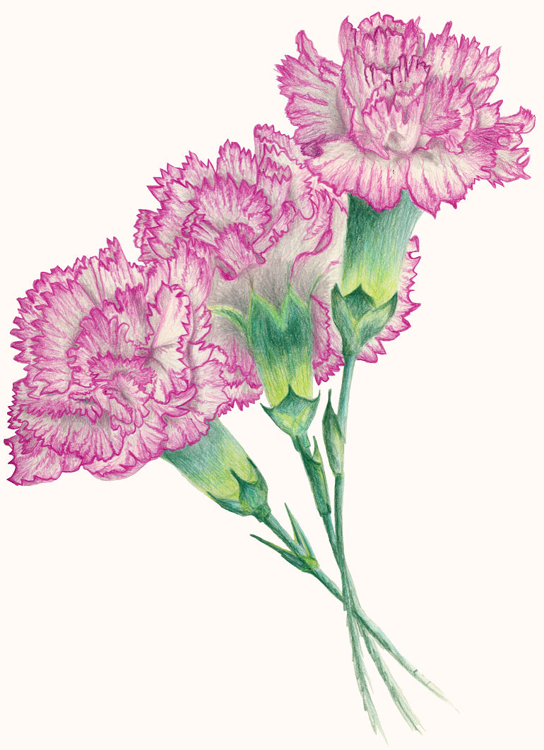 This is a picture of Rare Pink Carnation Drawing