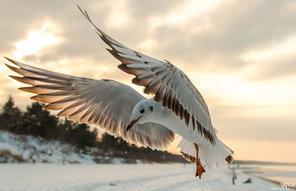 Seagull by Lasiu7