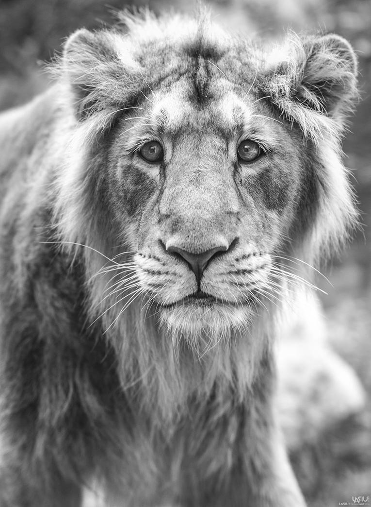 Lion by Lasiu7