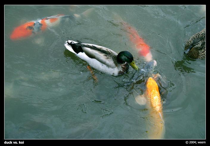 Duck vs koi by weem on deviantart for Koi vs goldfish