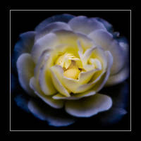 The Rose by Yeoman2b