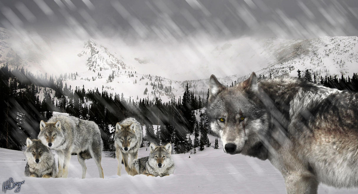 wolfpack by harry241