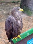 Bird Of Prey 2 by pelleron-stock