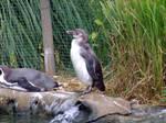 Penguin by pelleron-stock