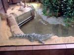 Crocodile by pelleron-stock