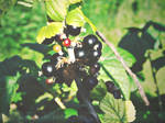 Blackcurrants... by Clergna