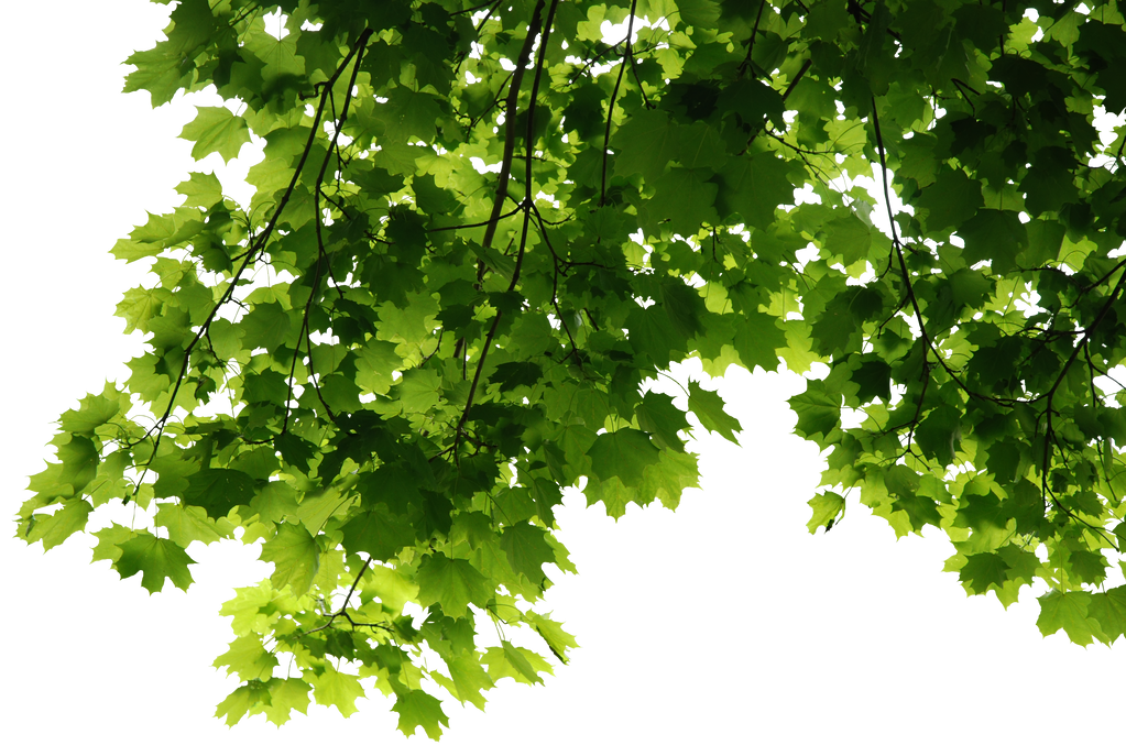 HD Tree Leaves Render by 3FixR on DeviantArt
