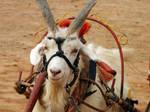Goat Close Up