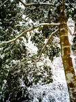 Holly Tree in the Snow