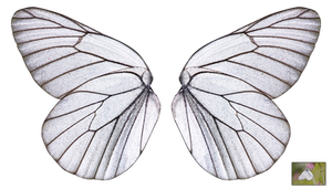 UNRESTRICTED - White Butterfly Wings