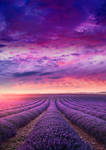 RESTRICTED - Lavender Field Premade