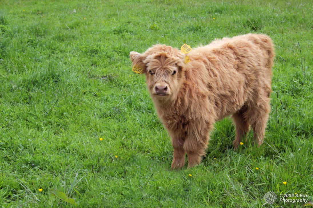 Highland Coo By Foxdesigns On Deviantart