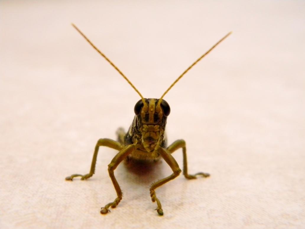 Yellow grasshopper. by robesauer