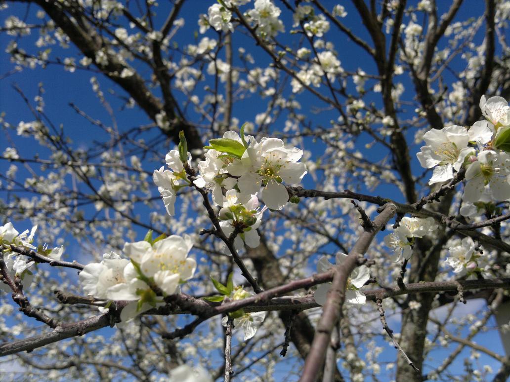 White flower peaches by robesauer