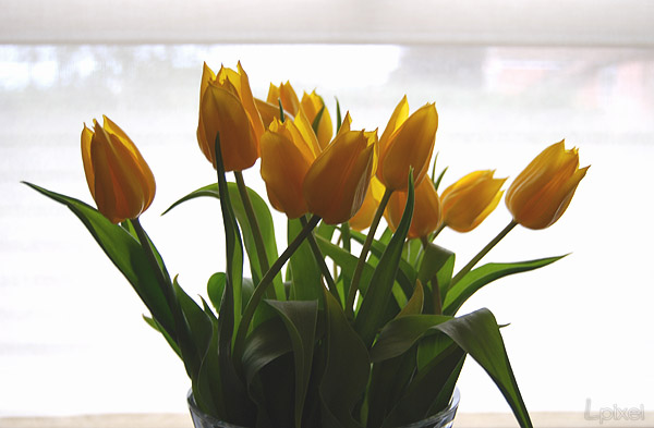 Yellow Tulips by Lpixel
