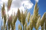 Pampass Grass