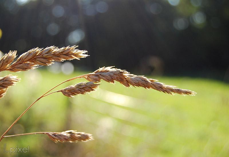 Field grass by Lpixel