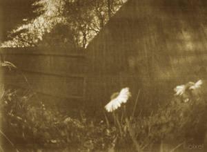 pinhole photo daisy